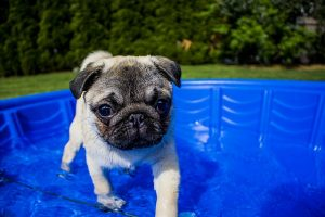 swimming puppy